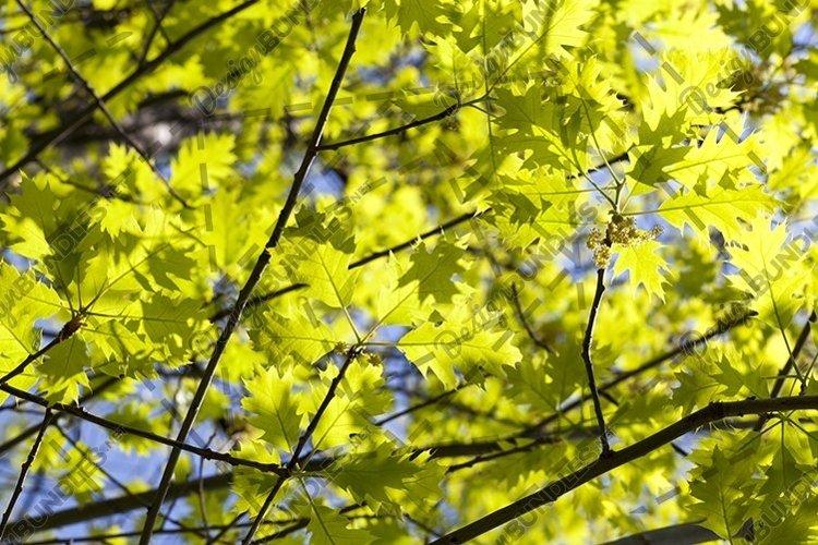 oak leaves example image 1