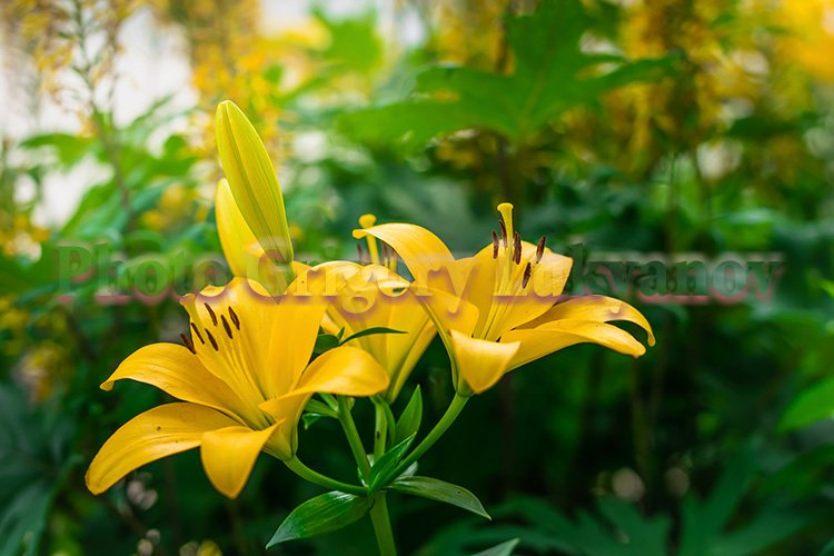 Stock Photo - Flower of yellow lily example image 1