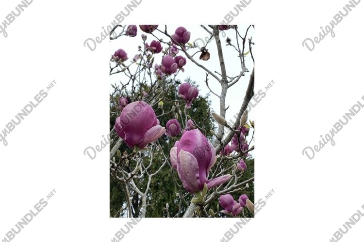Photo of the Flower of Magnolia Serene example image 1