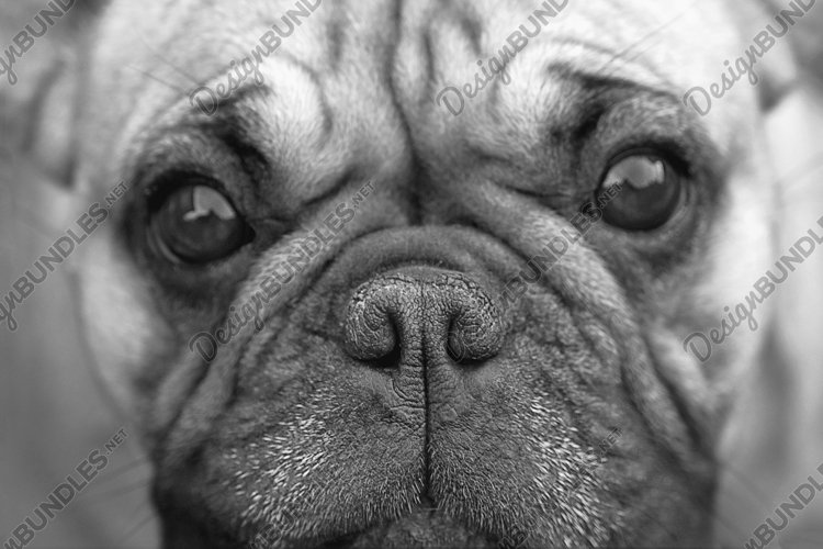 Black and white portrait of dogs - adorable and serious