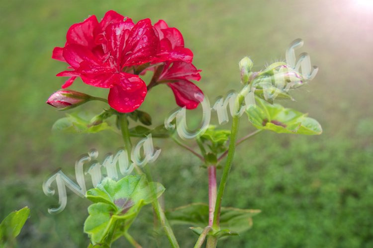 Flower of red Pelargonium graveolens with buds example image 1