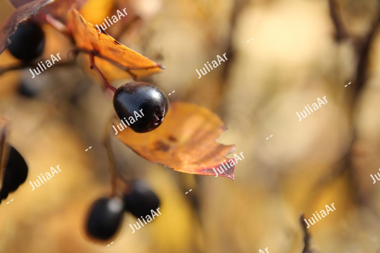 Branch with black berries and autumn leaves example image 1