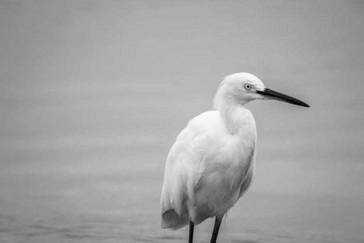 White heron photo 6 example image 1