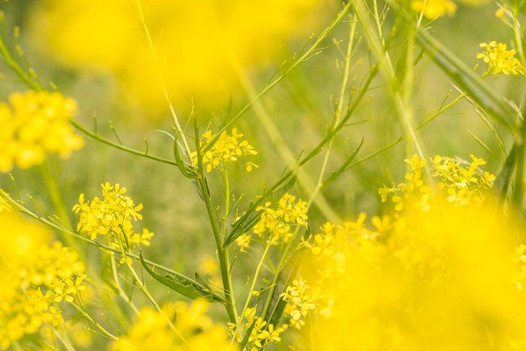 Yellow rapeseed. Summer