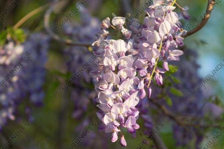 Lush Wisteria flowers in the soft light of the summer sunset example image 1