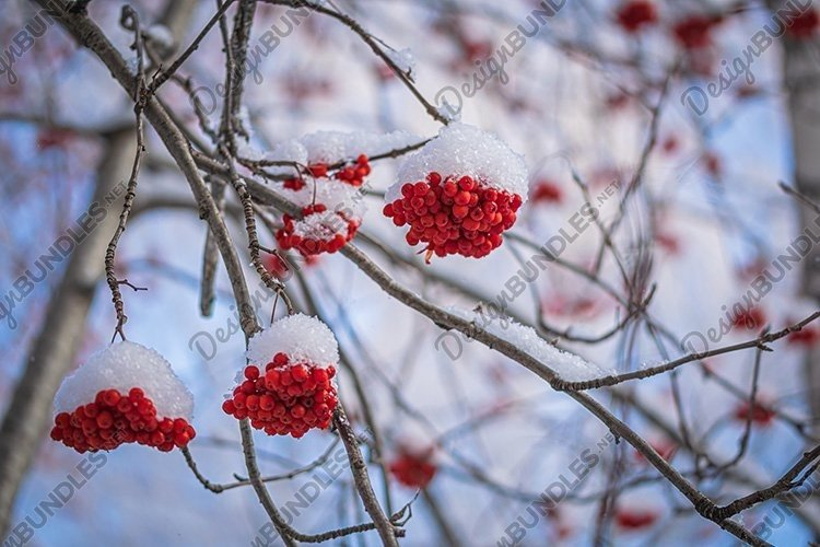 Stock Photo - Red berries of mountain ash under the snow example image 1