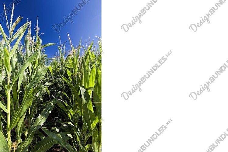 sweet green unripe corn example image 1