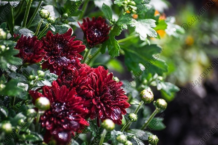 Stock Photo - Flower of chrysanthemum in drops after a rain example image 1