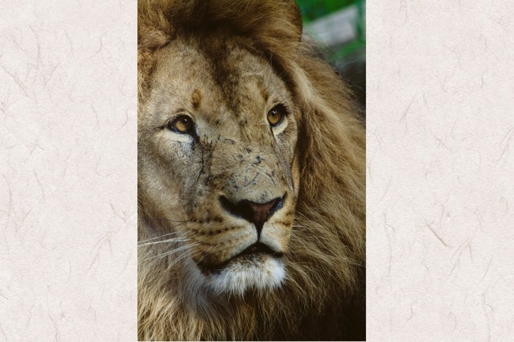 Lion photo 6 example image 1