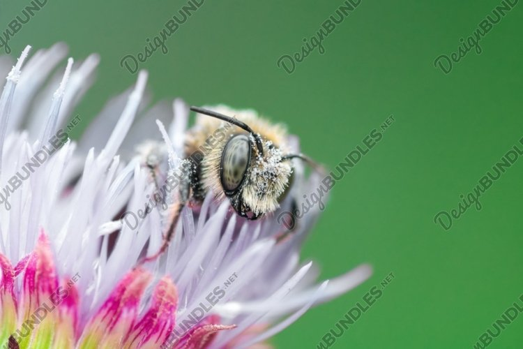 a bee sits on a Thistle flower