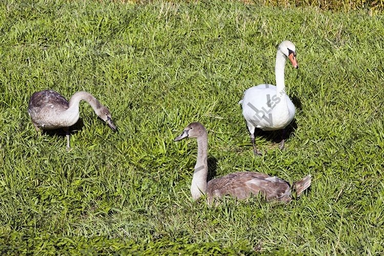 adult White Swan example image 1