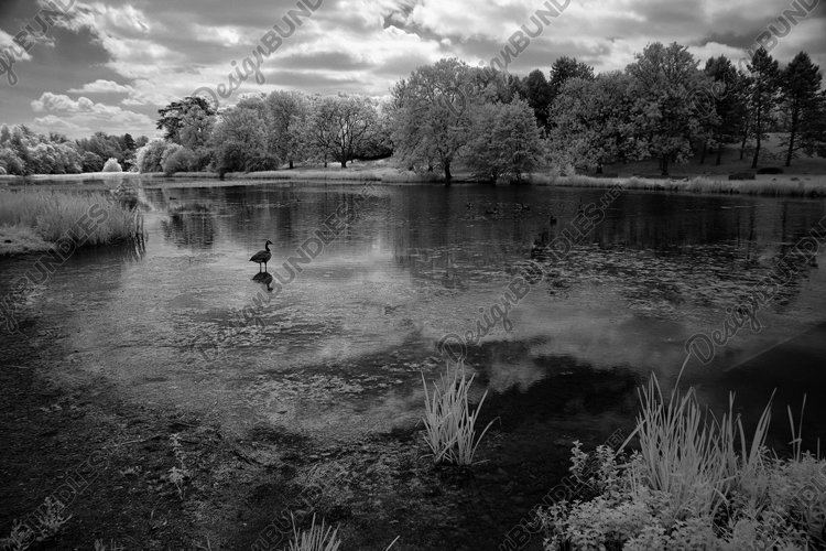 Canada goose on the River Glyme, Oxfordshire, England, UK example image 1
