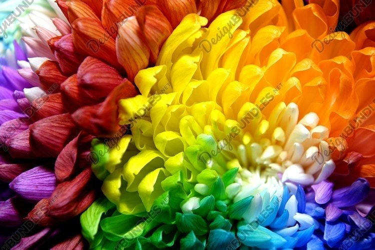 Colored chrysanthemums of different colors example image 1