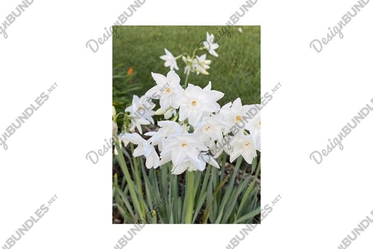 Photo of Clusters of Small White Narcissus Ariel Blooms example image 1