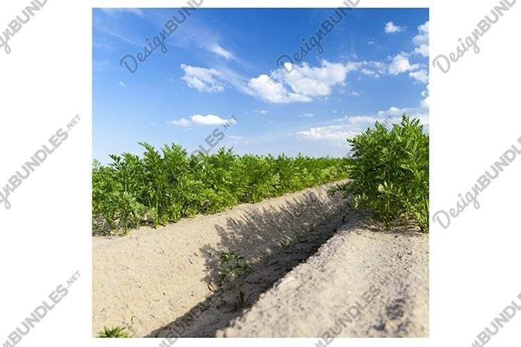 furrows in which carrots example image 1