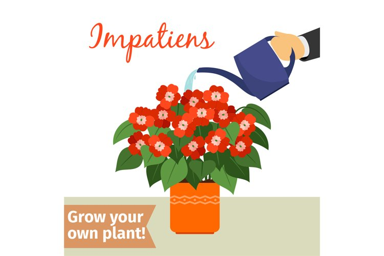 Hand watering impatiens plant example image 1