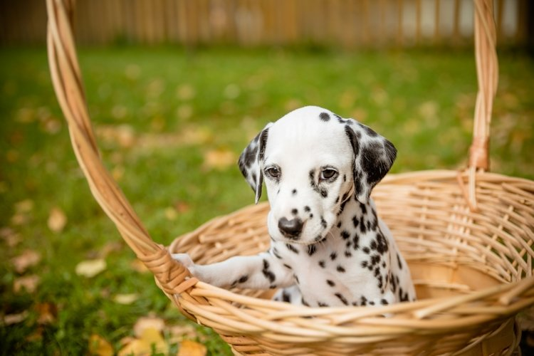 Dalmatian puppy in a wicker basket example image 1