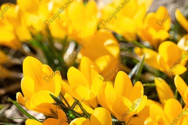 Stock Photo - Fresh flowers of yellow crocus in spring. example image 1