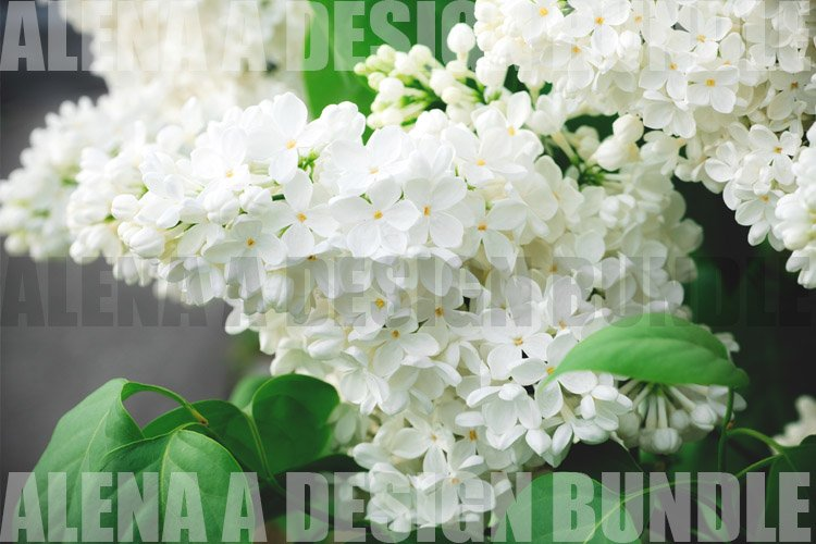 blooming white lilac bunch in the garden