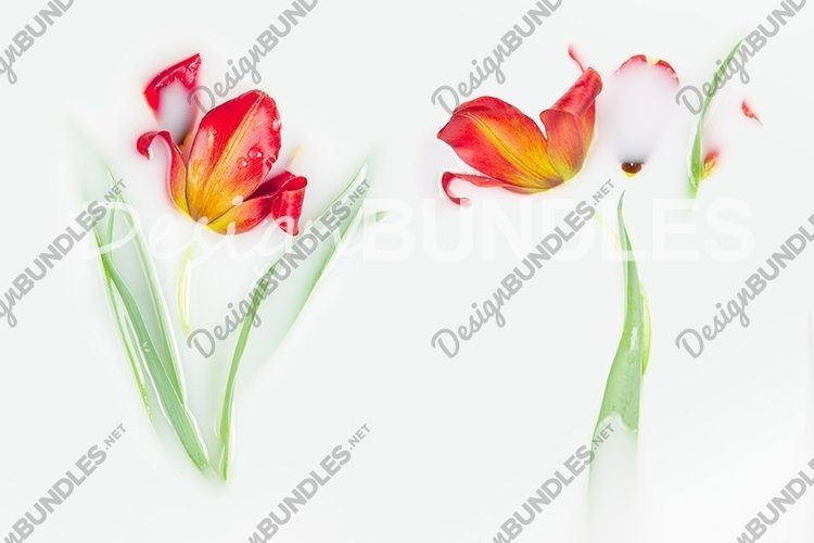 Tulips in a milk bath. The concept of purity and tenderness. example image 1
