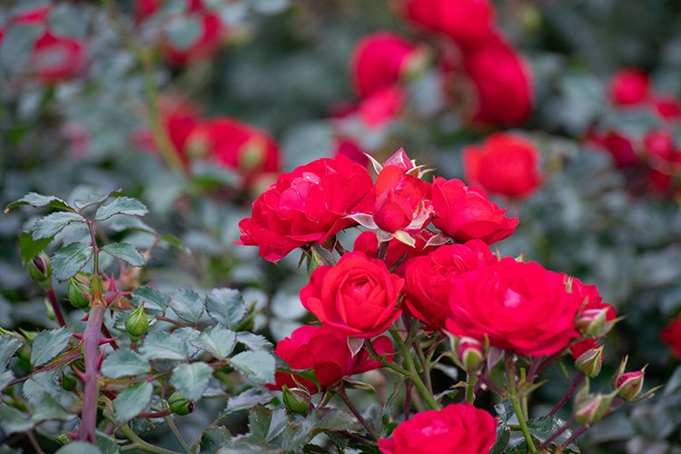 Stock Photo - Rose flower on a green blur background. example image 1