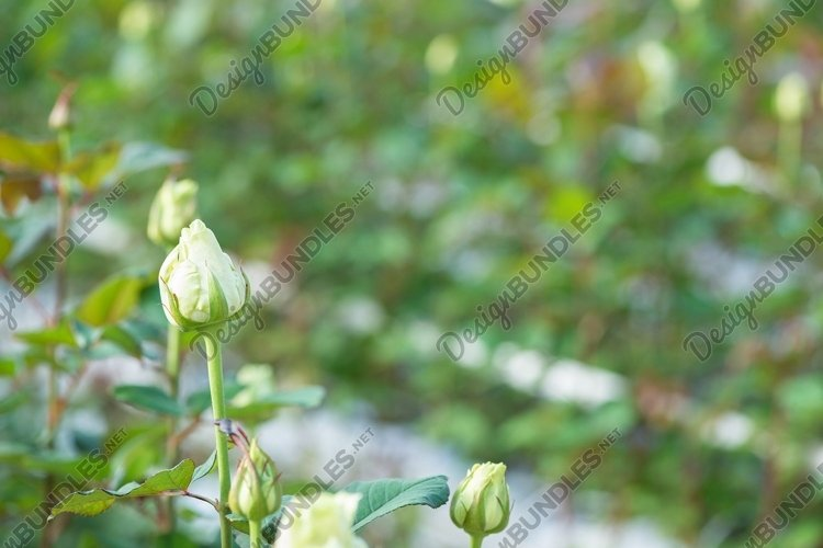 Close-up of a rose on a floral background in a greenhouse example image 1