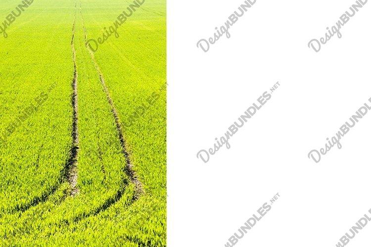real organic green wheat field example image 1