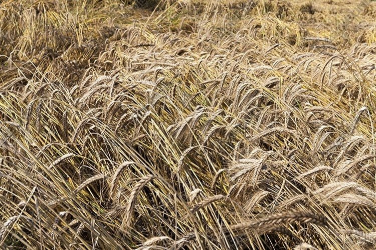 rye for food, example image 1