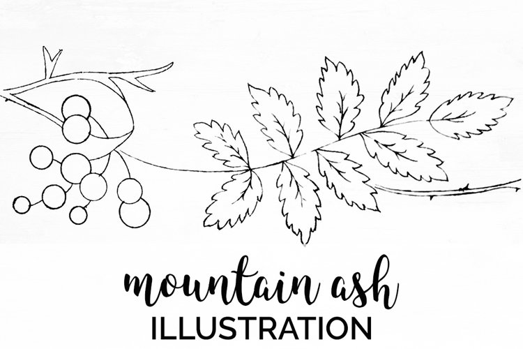 Leaves - Vintage Line Drawing Mountain Ash example image 1