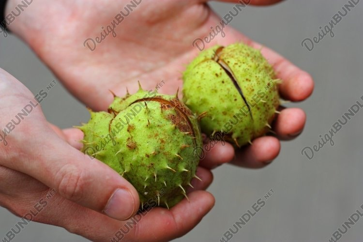 Two big green spiky conker tree fruits example image 1