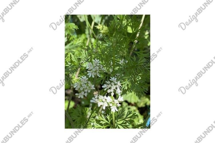 Photo of the Flower of Coriander Coriandrum Sativum Chinese example image 1