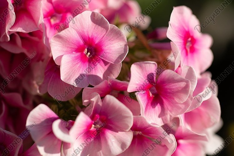 Stock Photo - Purple phlox flower close up in garden example image 1