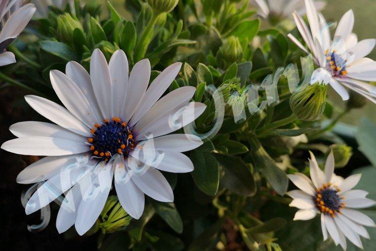 White dimorphotheca ecklonis,African Cape Daisy,Polar Star