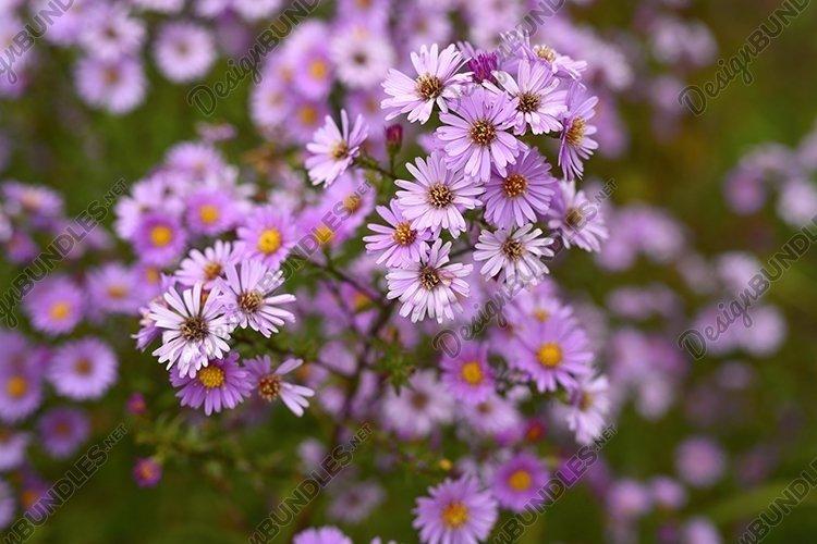pink autumn flowers Aster novi-belgii in full bloom example image 1
