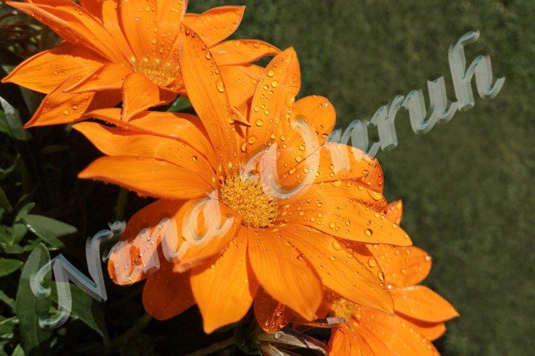 Flowers of orange gazania with dew drops on petals example image 1