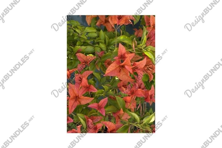 Flower of bougainvillea bambino plant Photo example image 1