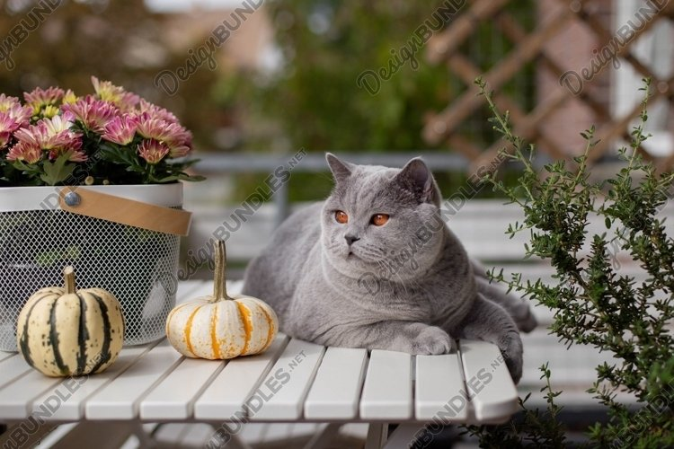 Blue British Shorthair cat on a white table with pumpkins. example image 1