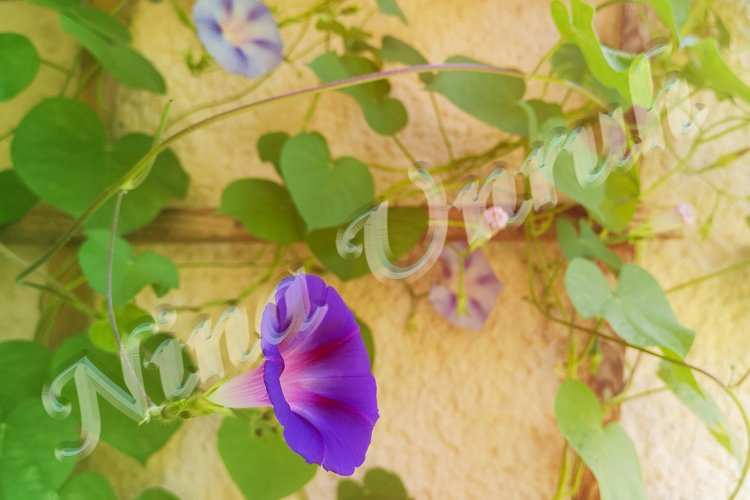 Purple-lilac blooming flower of Ipomoea example image 1
