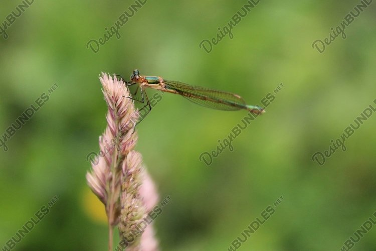 Green dragonfly on straw. Wildlife example image 1