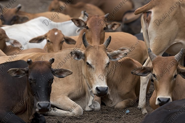 Local Herds of Cattle/ caw example image 1
