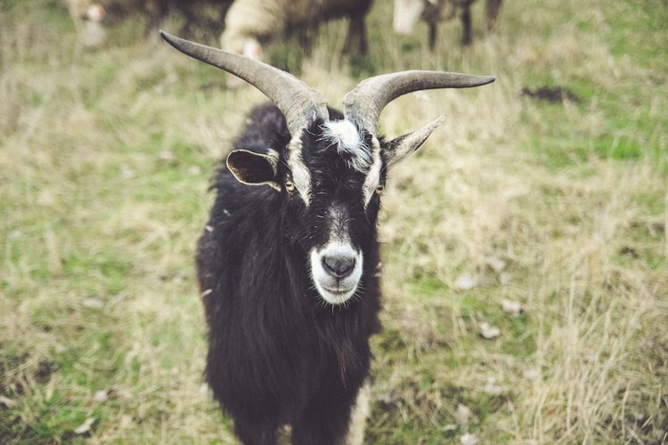 Black goat example image 1