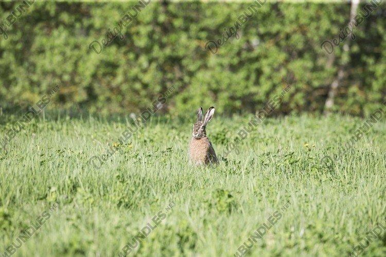 Wild European Hare Lepus Europaeus On Green Background. example image 1