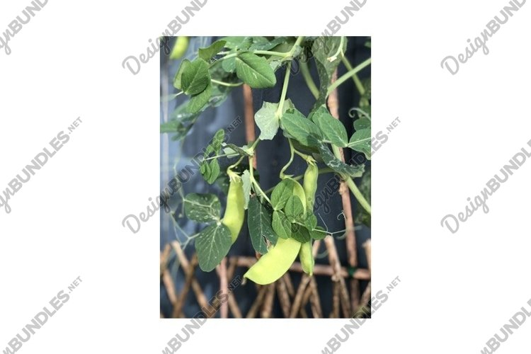 Photo of the Plant Snow Pea Chinese Pea or Pois Mangetout example image 1