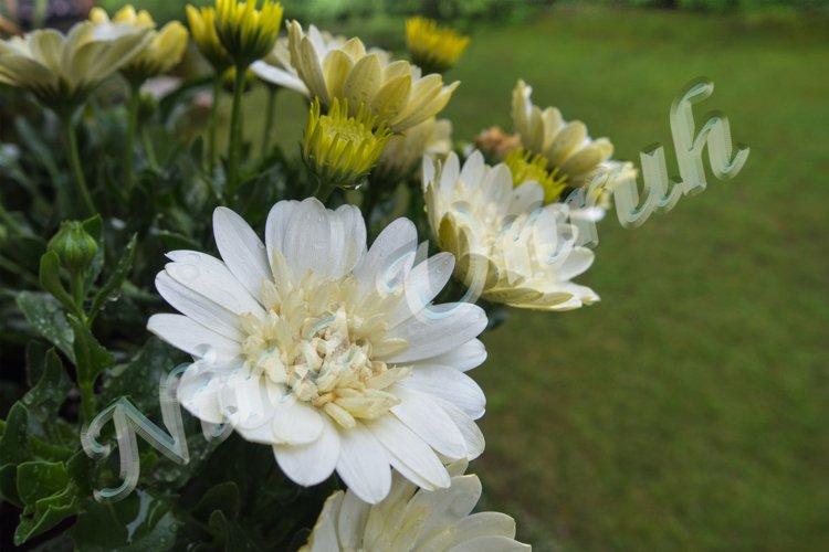 Close up of Aurora, a white chrysanthemum example image 1