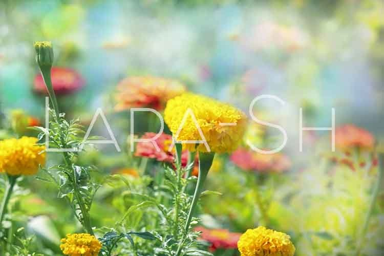 Red, orange and yellow heads of flowers in garden