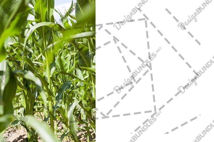 corn field example image 1