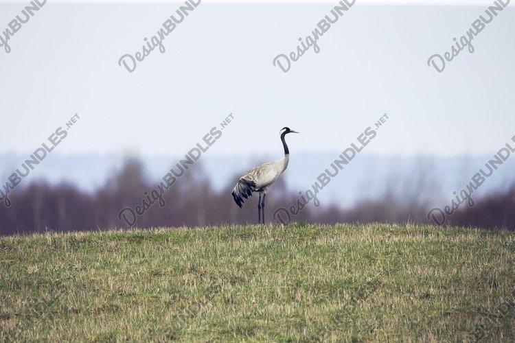 Common crane Grus grus walking near the lake in autumn alone example image 1