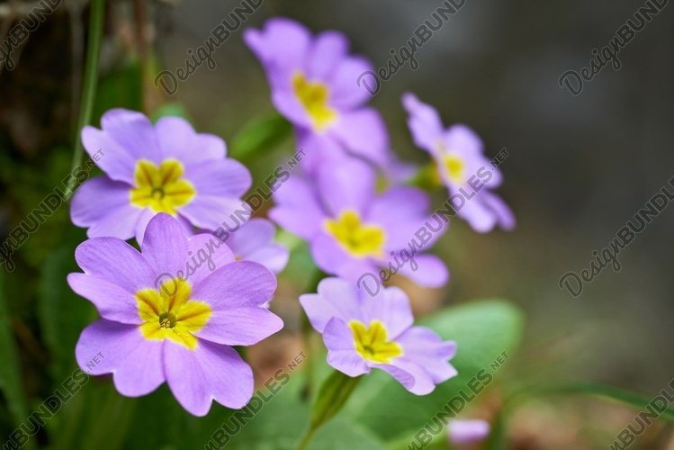 Spring pink flowers Primula vulgaris in the forest example image 1