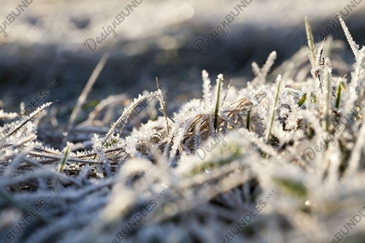 winter rye or wheat example image 1