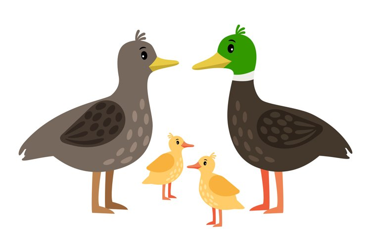 Duck family. Vector mother duck, drake and little ducklings